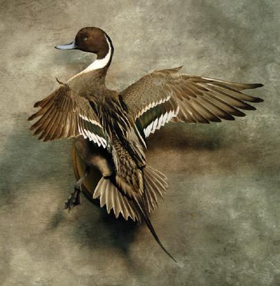 Flying Pintail   Gulf Coast Waterfowl